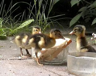 Enten-Ducks-Stockenten-Mallards